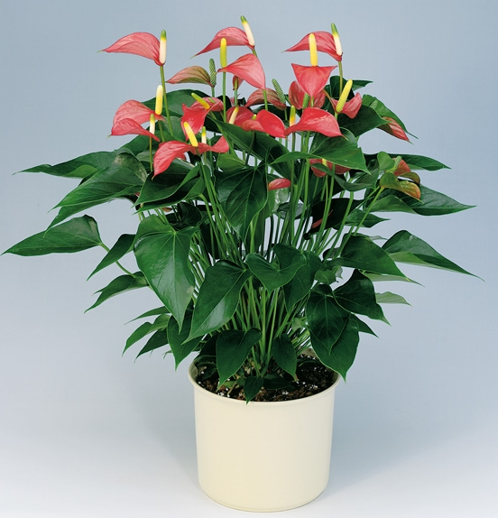 Anthurium good house plant for the home pinterest - Nice indoor plants ...