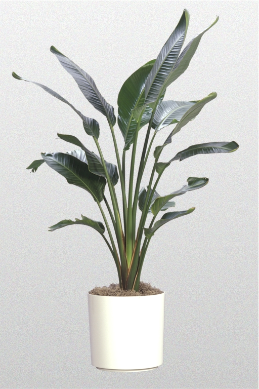 White Bird of Paradise Plant Large