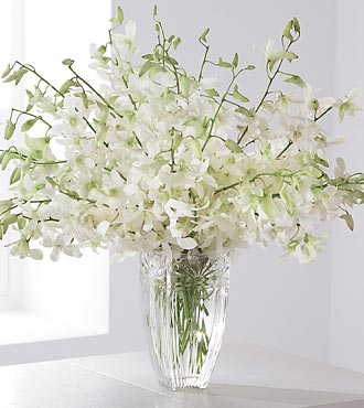 White Dendrobium Luxury
