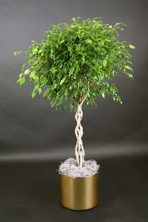 http://www.orchidtropics.com/images/ficus%20braided%20OT2113.jpg