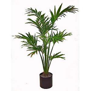 Kentia palm boca orchids florist orchid for Kentia pianta